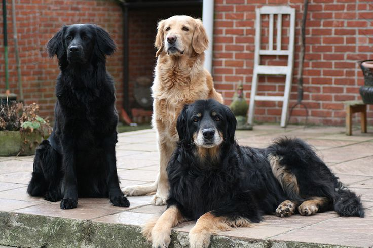 """Hovawart Dog Breed The Hovawart is a medium to large size German dog breed. The name of the breed means """"an estate guard dog,"""" which is the original use for the breed. Wikipedia"""