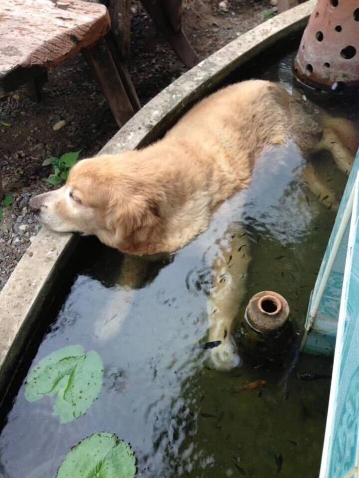 """Golden"" fish pond. See what I did there? Gold Fish, Golden Retriever, Golden Fish...oh, never mind."