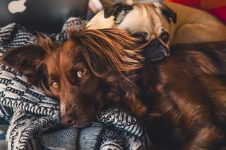 It's Better Going With the Dogs :   Dogs Can Help You Live - and Live Longer  Can living with a dog improve your life? It certainly appears canine companionship might extend it.  The results come from a Swedish study at Uppsala University which used the longstandingpublic health advantages of thatcountry. All the Swedish population between the ages of 40-80 were surveyed. Out of those 4 million people 3.4 million who demonstrably did not have major heart disease and had remained in Sweden were followed a full 12 years. At the same time 41000 Swedish twins were studied.  As was everybody's dog ownership.  Since 2001 every Swedish pooch has either an ear tattoo or subcutaneous chip implant and is registered with the national Board of Agriculture. All certified pedigreed dogs are registered with the Swedish Kennel Club. The researchers estimated 83% of dogs were somewhere in the public record. d.  Combine human and dog registries with far better data than most countries can muster and gives youa pretty good idea of what happens when humans go with the dogs.  What Did They Find?  The biggest effect occurred on overall and cardiovascular mortality. Owning a dog cut death rates in both arenas. However rates of heart attack and heart failure were only decreased for certain groups.  Who Benefitted the Most?  Singletons. People who lived alone benefitted the most from having dogs. Another group that did particularly well were the elderly.  Did Everybody Benefit?  Apparently not. The data from the 41000 twins did not show much of a mortality decrease. The authors thought that was due to less usable data on lifestyle in this group and the smaller sample size.  Did the Type of Dog Matter?  Yes. Pointers showed the lowest overall odds ratio of mortality (.6 versus the expected 1.) Breeds bred for hunting showed overall better results. Mixed breeds showed the least effect.  Does Everyone Agree With The Results?  No. Other studies have been equivocal. The large Norwegian HUNT trial did not show an improvement in mortality. That was a cohort study different from a registry study like the Swedish one where the data is mandated by law. Other smaller studies in the US are more or less in agreement with the Swedish data.  Was the Study Perfect?  By no means. Its pretty much impossible to do a perfect study. There are too many variables to observe with fidelity plus loads of unknown variables affecting outcome not yet figured out. Still following 3.4 million people with registered outcome over 12 years will be a very hard act to follow.  Why Did People Live Longer?  There are numerous studies showing the short term physiologic effects of dog ownership. People with dogs show less prominent stress responses. They demonstrateless elevated states of their sympathetic nervous systems.  Yet the biggest impact impact seems to come from several factors: 1. Dog owners walk more. This was particularly true of singletons. Theres nobody else around to walk the dog. Even in harsh weather (and Sweden has plenty of it) you have to walk the dog.  Next came the benefits of social engagement between species. Dog owners report a particular kind of happiness living with their animals (so do cat lovers by the way.)  Third people with dogs meet other dogs  and their owners. Social support is a very large factor in cardiovascular risk which accounted for an estimated 45% of total mortality in Europe in 2016. People with dogs can develop attachments to their animal other animals and other humans.  Increased social engagement may be a big factor in why singletons benefitted more from dog ownership than others.  Bottom Line  Muchcan be learned from the Swedish dog ownership study. Some implications are:  1. National health registries can provide a lot of useful data that can guide policy and treatment.  To get good results you need good data. The Swedish dog ownership study not only had excellent human data particularly on socioeconomic variables it also had terrific animal data. Most cohort studies generally used as gold standards in epidemiologic research cannot enforce the same kind of followup results that national registry data can provide.  Plus only about 13% of Swedes were dog owners. The benefit to singletons and the elderly can help guide national public health policy.  2. There is little evidence that owning dogs has directly deleterious effects on human populations. Worries about dogs'overall effects on environmental resources must be contrasted with effects on health and mortality.  3. Social support matters a lot to survival. Much of this social support can occur cross-species.  In America today perhaps 25% of people claim to have no clear trustable friend. Despite the pervasiveness of social media or as others would claim because of it people now declare they feel more lonely and alone than before.  Loneliness is a major cause of mortality. It might be time to cue the aid of humanity's best friend.