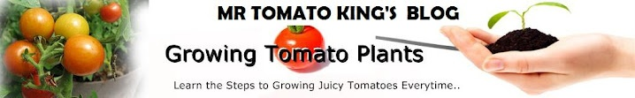 Tomato diseases, pests and disorders with pictures and what to do