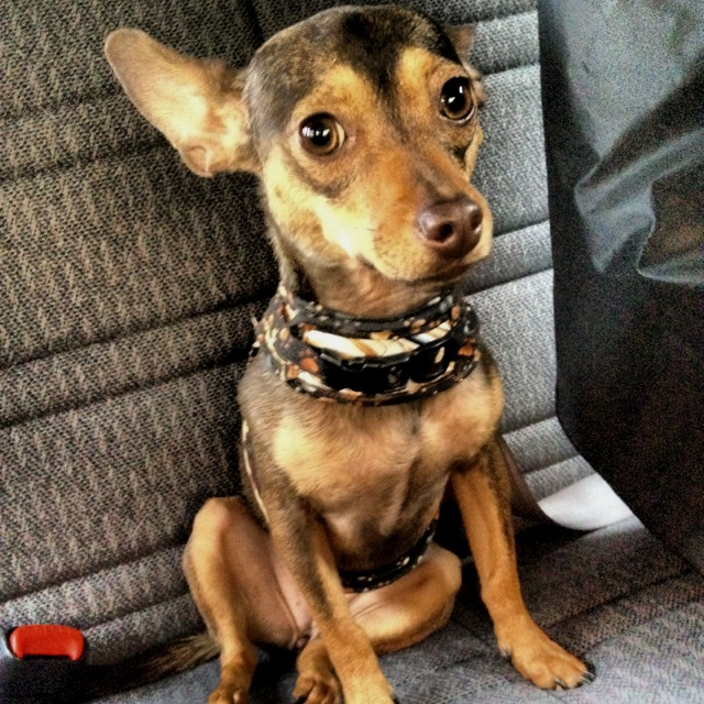17 Best Images About Pins For Pets On Pinterest: 17 Best Images About Pocket Dog On Pinterest