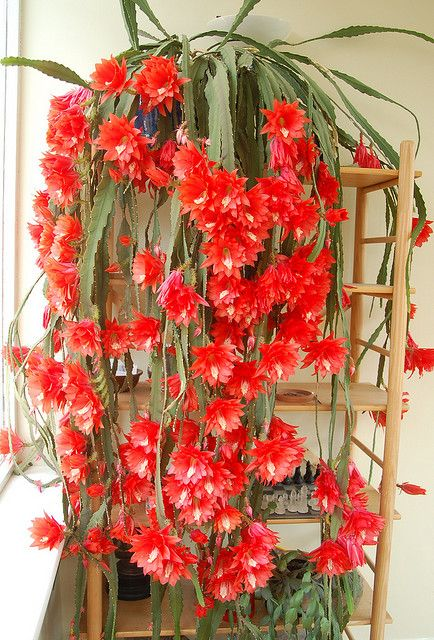 Epiphyllum Cactus - (I had one for decades - it bloomed twice a year - Easter and Christmas)-wk-