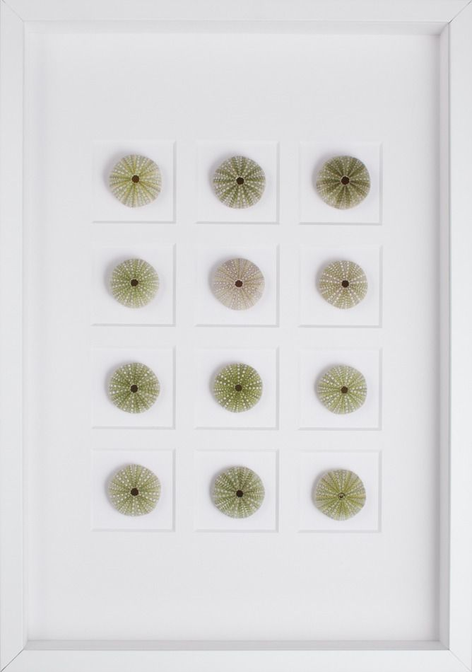 Twelve green sea urchins mounted within a white shadowbox frame