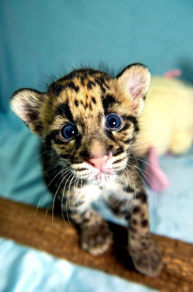 Little clouded leopard