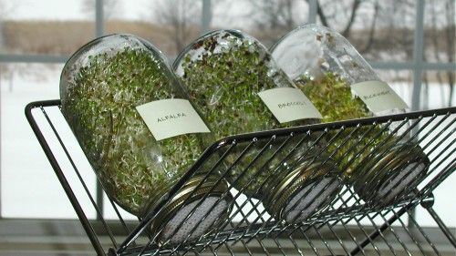 Sprouting - perfect solution so you don't have jars leaning precariously on each other.