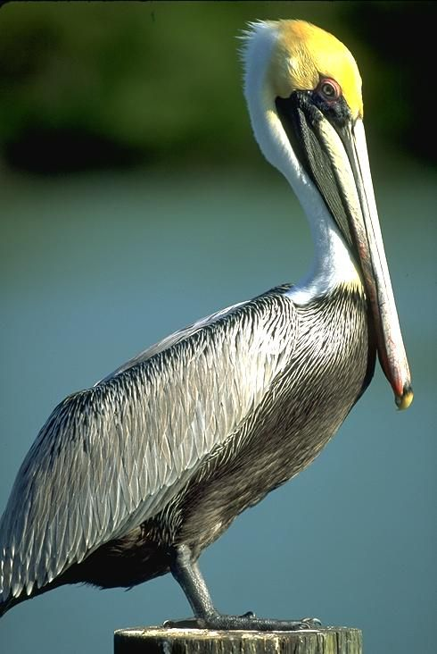The Pelican:    A wonderful bird is a pelican,   His bill will hold more than his belican.   He can take in his beak,   Food enough for a week;   But I'm damned if I see how the helican.