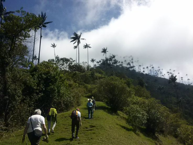 Valle Cocora, Quindío, Colombia: The amazing valley of Colombia's national trees; Quindio wax palms. It is a part of Los Nevados national park, and has a great variety of protected flora and fauna.   #traveling #hiking #tours #nature #ecotourism #palenquetourscolombia #travelandmakeadifference
