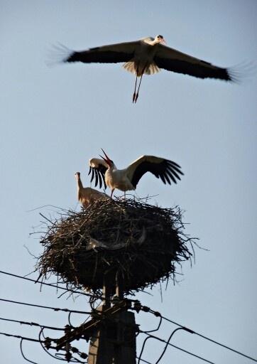 Stork fight, Hidegseg near Sopron.