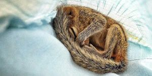 Recovering Baby Squirrel