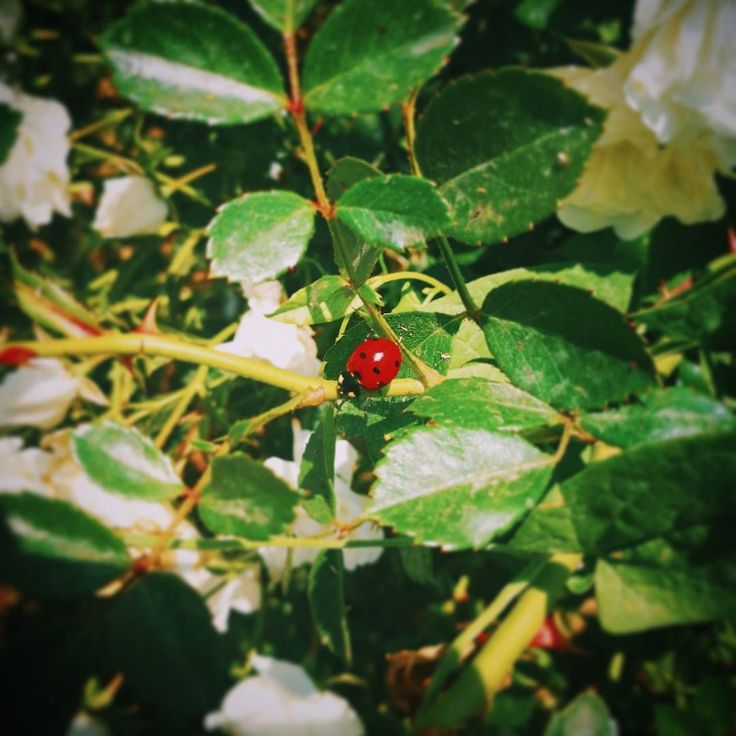 A new friend of Podere di Pomaio white roses: the most perfect ladybug I've ever seen.  #thinkgreendrinkred #poderedipomaio
