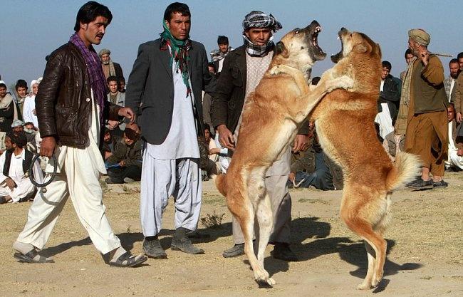 Битва собак в афганской провинции Герат. Собачьи бои проводятся здесь еженедельно, при талибах они были запрещены