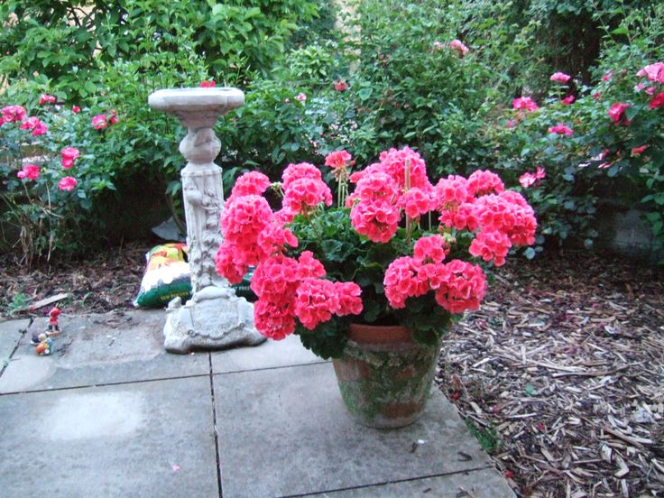 pink geraniums in pot my garden flowers plus other plants geraniums pots and pink