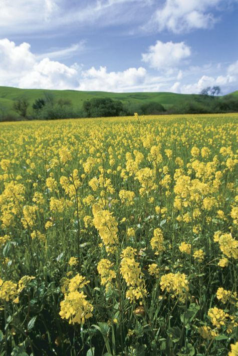 Mustard offers attractive flowers, pungent greens, and best of all—spicy seeds.
