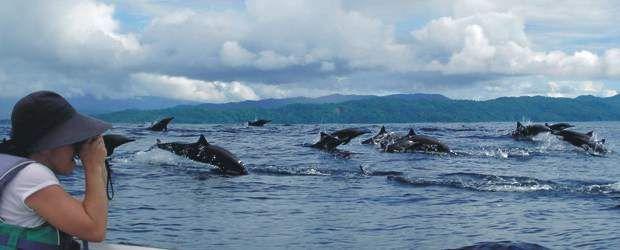 EN BAHÍA SOLANO ya se puede disfrutar también del nuevo programa de avistamiento de delfines. En esta zona habitan varias especies en vía natural y con mucha empatía por los humanos. Solo se requiere paciencia, amor por la naturaleza y utilizar protección solar.