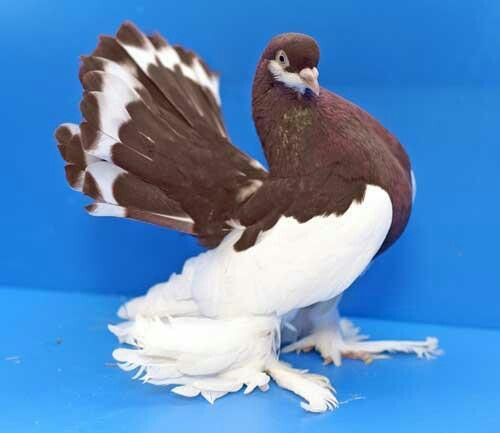 Fancy Pigeon | Pigeons and Pigeon Coops | Pinterest ...