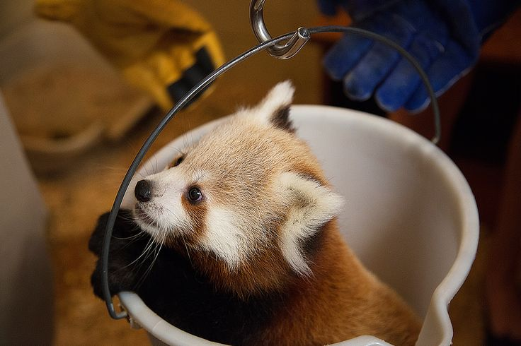 "Mow-mow, one of our Red panda cubs, gets weighed by zoo staff with the help of two student ""zooies."""