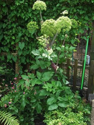 Naturally Sweet Tasting Herbs: Angelica