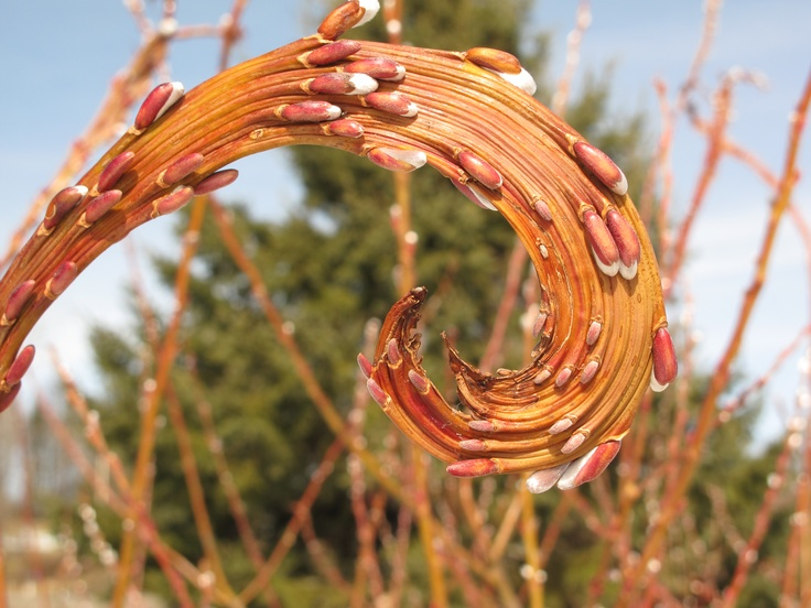 How To Grow Fantail Pussy Willow 36