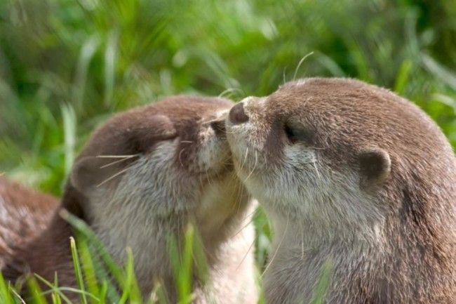 Otters share a sweet kiss - May 26, 2013