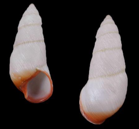 Pseudachatina downesii - Rare - malacology-asia.com