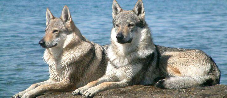 """De Tsjechoslowaakse Wolfhond is een relatief nieuw ras en werd ontwikkeld door het kruisen van een <a href=""""http://www.startpunthonden.nl/hetras/13/Duitse-herder"""">Duitse Herder</a> met een Karpaten Wolf. Ze werden oorspronkelijk gebruikt voor militaire dienst en nu wordt dit ras gebruikt als een betrouwbare bewaker en verdedigingshond."""