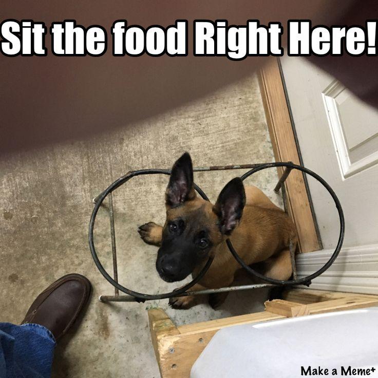 eae1b0548fbffb246227a01bd67561a4 this meme malinois 49 best malinois images on pinterest german shepherd puppies