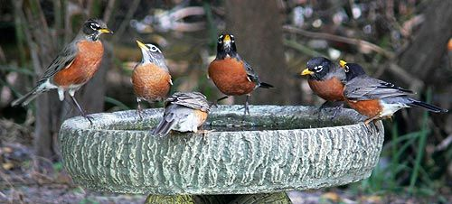 How to Attract Birds to Your Yard: American Robins by Lorraine Margeson (Image)