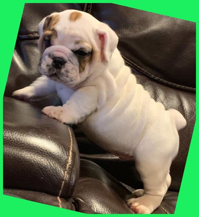 Discover The Very Best Kennel Club Registered Pedigree Bulldog
