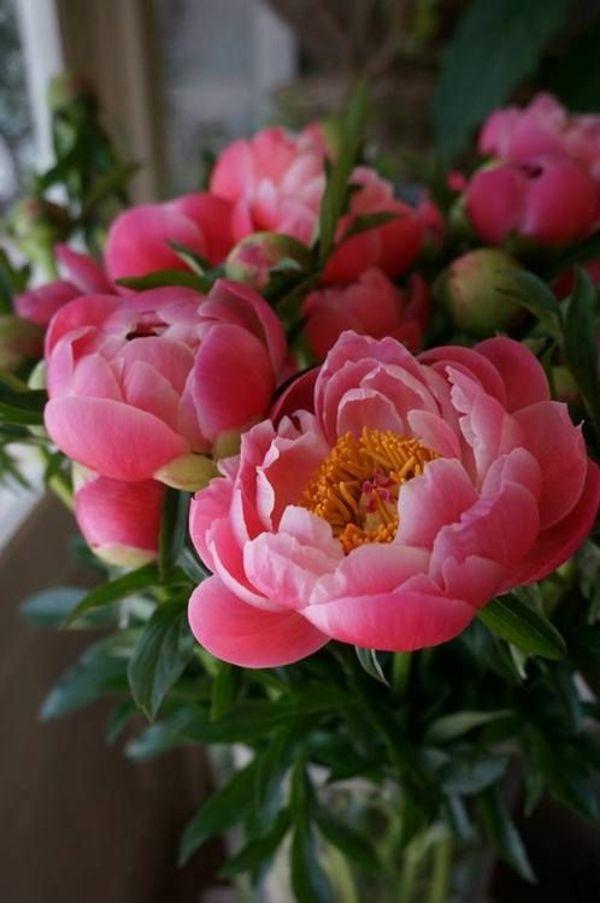 gartenpflanzen pfingstrosen blühende zimmerpflanzen balkonpflanzen