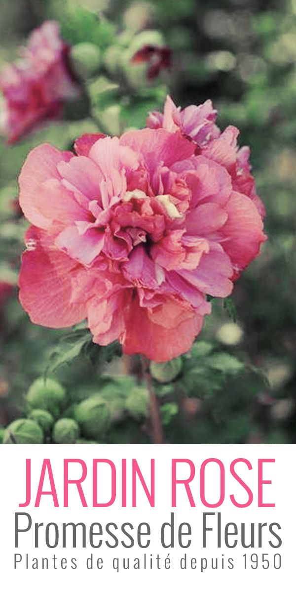 #hibiscus #freedom ... #pink #flower and #garden !!  http://www.promessedefleurs.com/arbustes/arbustes-par-variete/hibiscus/hibiscus-syriacus-freedom-althea-rouge-p-5298.html
