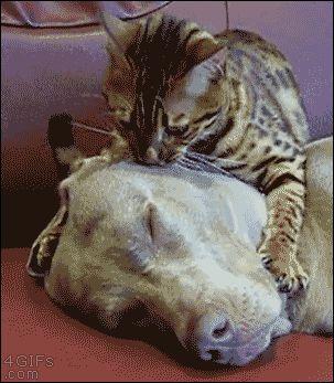 20 chats qui dorment sur des chiens, les...