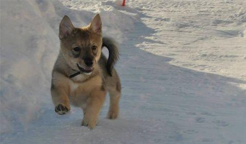 18 races de chiens exotiques rares que vous ne croiserez pas partout 1. Le Catahoula Leopard - 2. Le Catalburun - 3. Le Bedlington Terrier - 4. Le Dandie Dinmont Terrier - 5. Le Bergamasco Sheperd - 6. Le Vlak Tchécoslovaque - 7. Le grand basset griffon ...