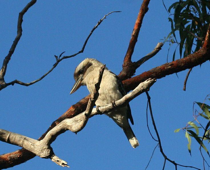 A Kookaburra bird