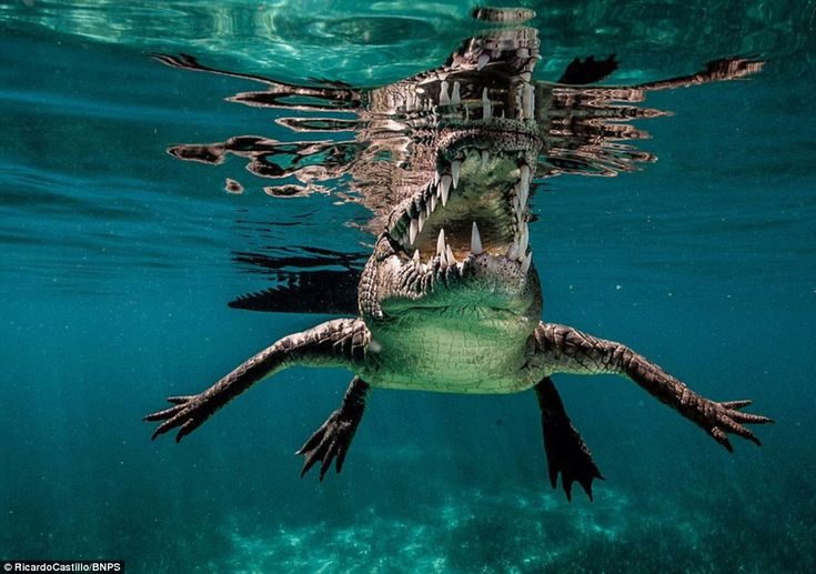 Snorkeller and photographer Ricardo Castillo captured incredible underwater images of saltwater crocodiles off the coast of Cuba