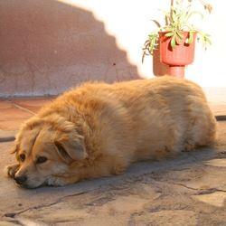 Pour résumer, le chien obèse est souvent :- Âgé- Femelle- Opéré- Très calme- Glouton- Sans exerciceRappelons les principaux facteurs d'obésité chez le chien :- La race (chiens de chasse plus prédisposés, caniches et bichons plus sensibles aux problèmes hormonaux)- Les ...