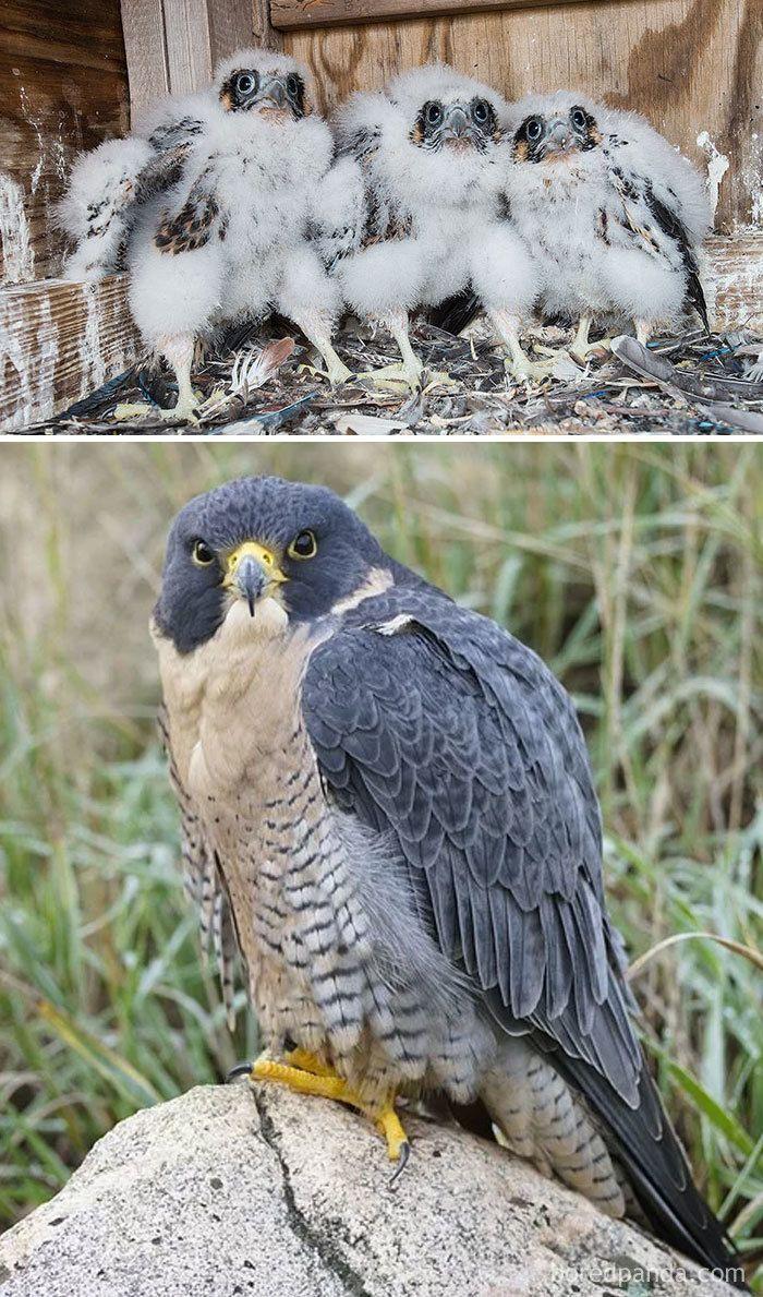 Peregrine Falcon Peregrine Falcon Barn Swallow Shoebill Stork