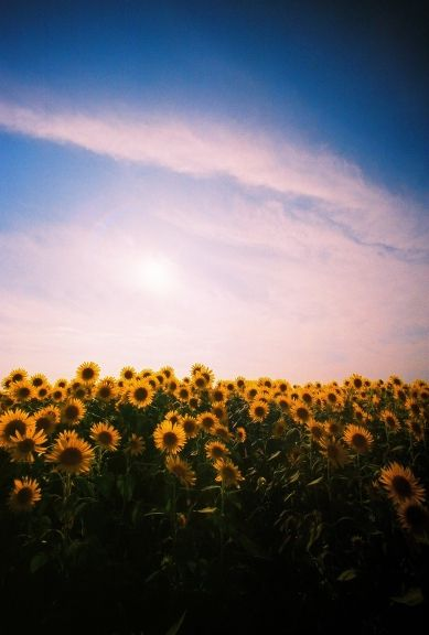 I love sunflowers. I want many of them. Now, please. :)