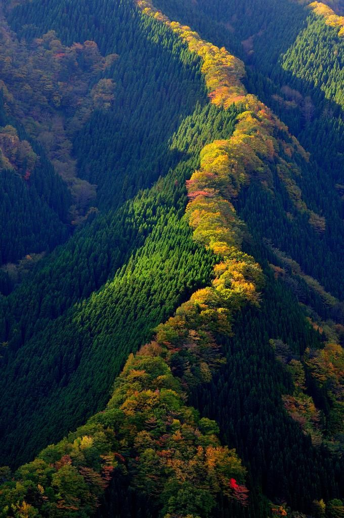 Line of maple trees along a ridge in Japan