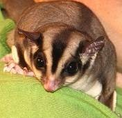 Sugar Glider BML Diet - Frank's Food!