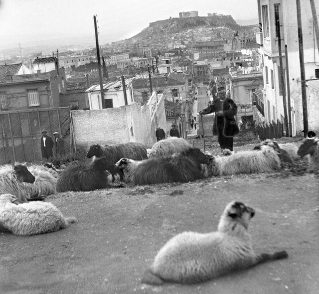 Ο τσοπάνης με τα πρόβατά του στο Κολωνάκι. Η λήψη έγινε στην οδό Πινδάρου. Επειδή η φωτογραφία είναι της δεκαετίας του ΄20, υποθέτουμε, ότι κάποιοι φρόντισαν να βρουν παράθυρο στην απαγόρευση και να επιβιώσουν με τα πρόβατα τους στο κέντρο λίγες δεκαετίες ακόμη. Στο σημείο αυτό σήμερα υπάρχουν σκαλιά