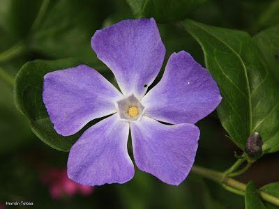 d- Flora Bonaerense: Vinca (Vinca major)