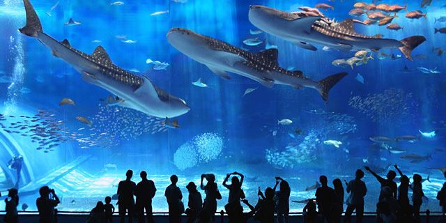 Whale sharks swimming in the Kuroshio tank at Churaumi Aquarium in Okinawa, Japan