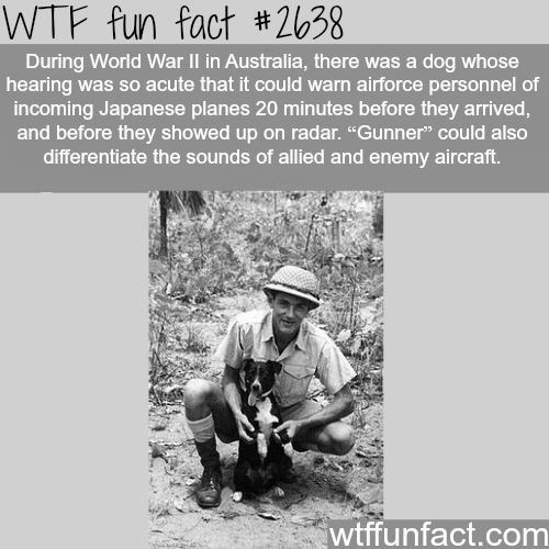 World War 2 Dogs, Gunner!- WTF fun facts