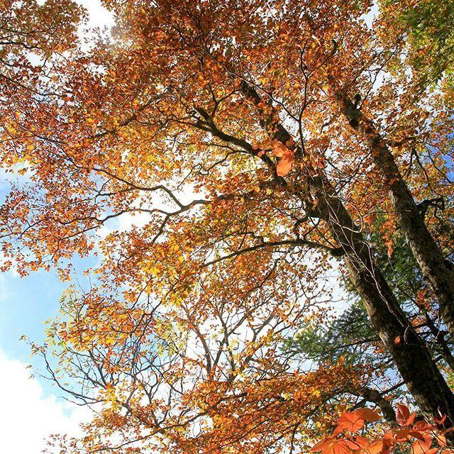 【haiirototoro】さんのInstagramをピンしています。 《〜おととしの寒露のころに 奈良県のどこかで〜 大台ヶ原の紅葉が一番いいころの写真です お天気がいいと どこをみても写真がとりたくなります  #大台ヶ原 #大台ケ原 #oodaigahara #紅葉 #黄葉 #autumnleaves #fallcolors #autumncolors #fallleaves #青空 #bluesky #秋晴れ #森 #forest #ブナ #橅 #Faguscrenata #beech #beechtree #naturelovers #landscape #秋 #autumn #奈良 #nara #japan》