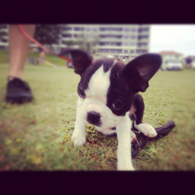 This is Stelly the Boston Terriers Rock puppy. This pic was taken on a pit stop while we were on a road trip from the South Coast NSW to Queensland, Australia. She wasn't impressed at this moment as you can see from her expression