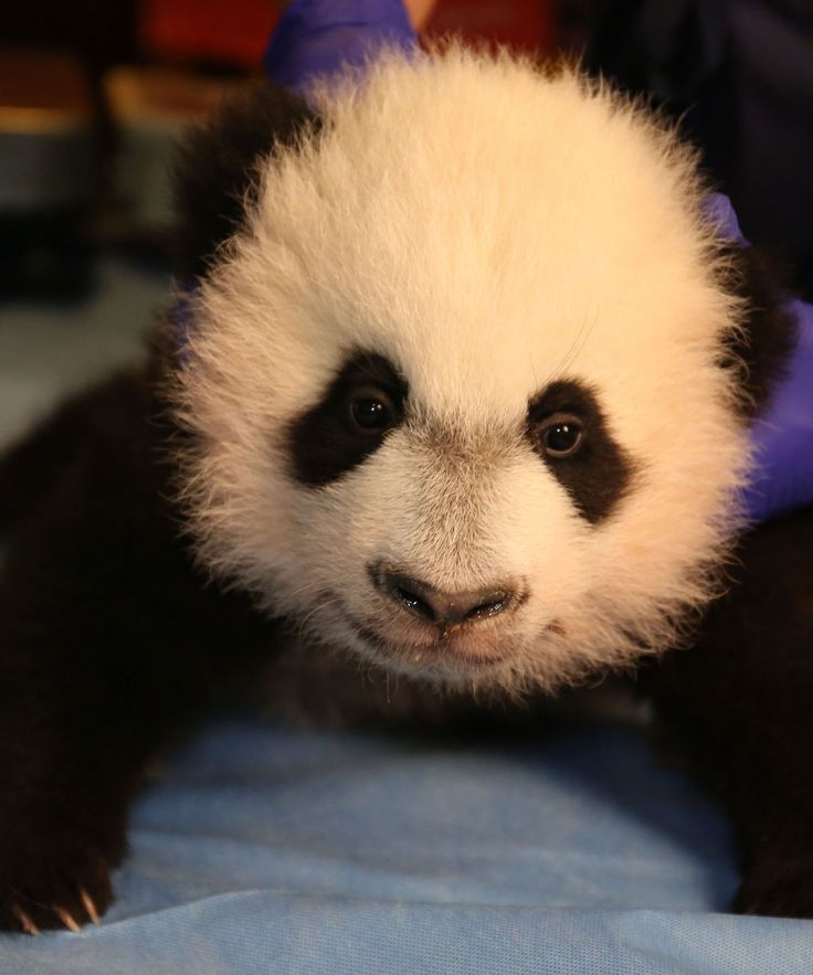 Baby Panda Smithsonian National Zoo Bei Bei Pictures | Pictures and videos of Bei Bei, the Smithsonian's National Zoo's newly debuted baby panda. #refinery29 http://www.refinery29.com/2015/12/99695/baby-panda-bei-bei-video-smithsonian-zoo