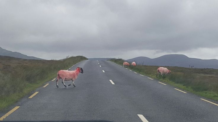Pink sheep crossing in Donegal.