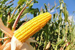 Zuckermais anbauen – So wird's gemacht