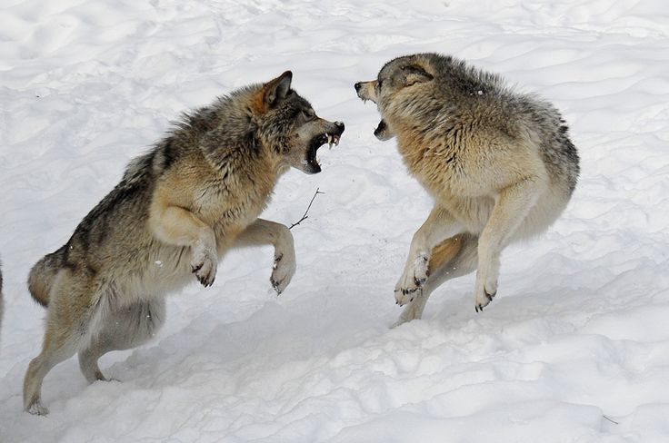 wolves fighting | Two wolves fight each other for leadership of the pack.