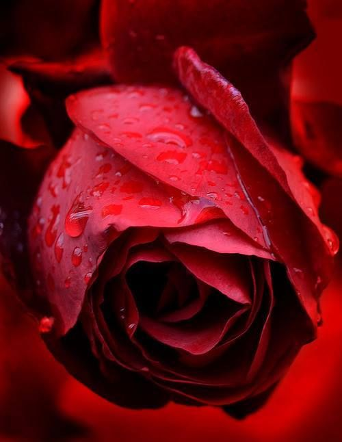 Red Dewy Rose